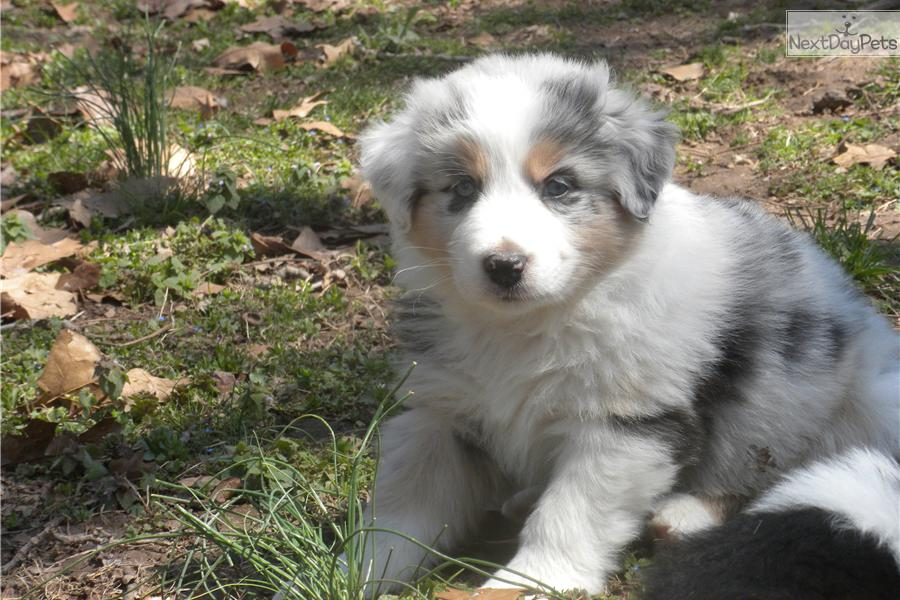 Australian shepherd dogs for sale in california dog breeds picture