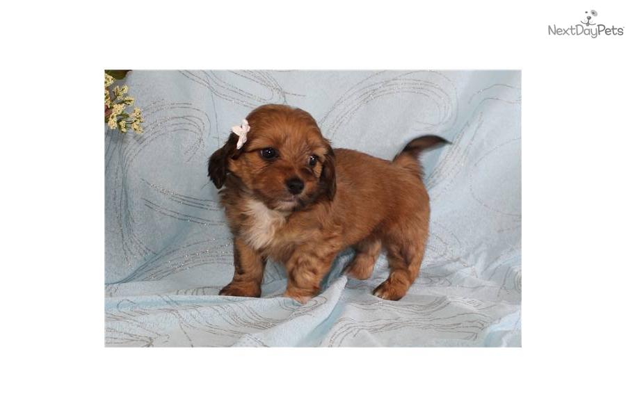 - audrey--shweeniedog-shih-tzu-puppy-0a0fd2be-64aa-4e71-a7a3-109853096fc7