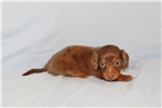 Picture of Honey (AKC)