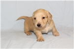 Picture of Goldie (AKC)