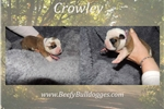 Picture of Thick Olde English Bulldogge puppy Crowley