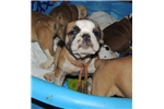 Picture of Thick Olde English Bulldogge puppy Sam