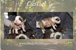 Picture of Thick Olde English Bulldogge puppy Castiel