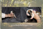 Picture of Thick Olde English Bulldogge puppy Alastair