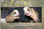 Picture of Thick Olde English Bulldogge puppy Fergus