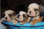 Picture of Thick Olde English Bulldogge puppy Dean