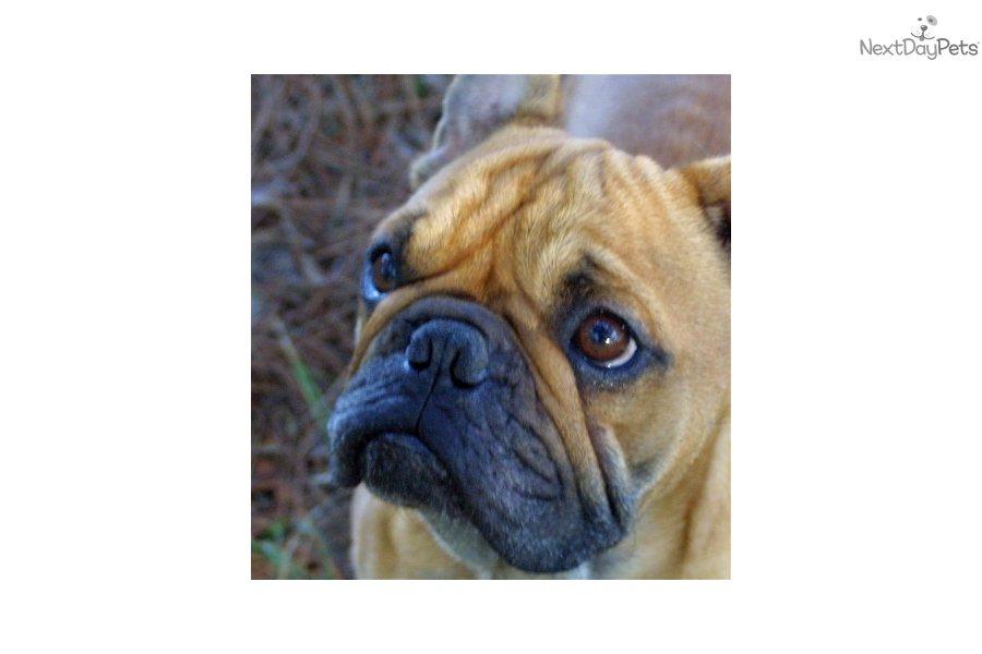 French bulldog adoption rochester ny