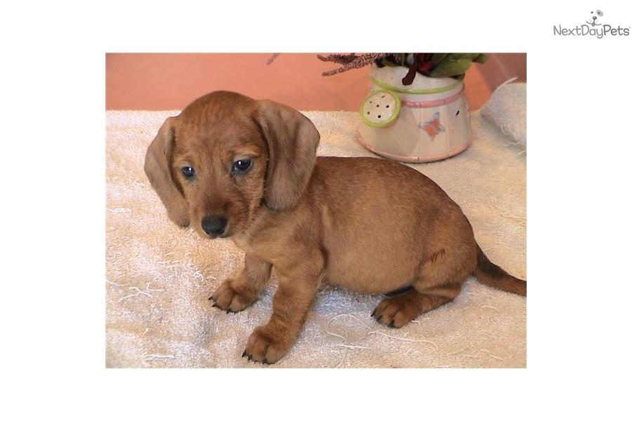 red-wire-haired-female-mini-dachshund-puppydog-dachshund-wire-puppy ...