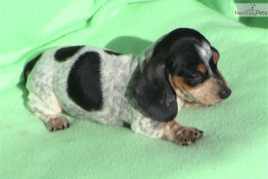Black And Tan Piebald Dachshund
