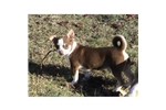 Picture of AKC Chocolate and White Male Chihuahua Puppy