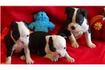 Picture of CKC Boston Terrier
