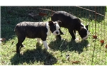 Picture of AKC Male Boston Terrier Puppies