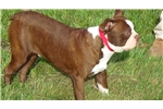 Picture of AKC RED BOSTON TERRIER PUPPY