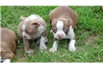 Picture of AKC RED BOSTON TERRIER PUPPIES
