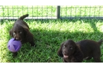 Picture of BSS Boykin Spaniel Puppies