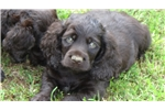 BSS Boykin Spaniel Puppies | Puppy at 9 weeks of age for sale