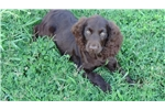 Picture of BSS Male Boykin Spaniel Puppy