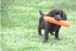 Picture of a Bracco Italiano Puppy