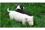 Picture of AKC Bull terrier Puppies
