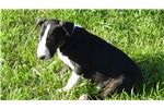 Picture of AKC Male Bull Terrier