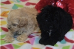 Picture of  Cockapoo Puppies