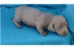 Picture of AKC Smooth Male Isabella Puppy