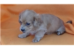 Picture of AKC Long Hair MIni Dachshund Puppies