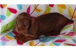 Picture of AKC Red Female Puppy