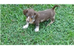 Picture of AKC Chocolate and Tan Dapple Male Puppy