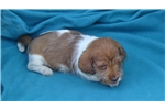 Picture of AKC Mini Dachshund Puppies