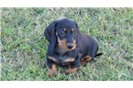 Picture of AKC Black and Tan Female Mini Dachshund Puppy