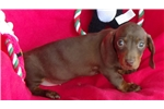 Picture of AKC Chocolate and Tan  Female Puppy