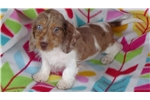 Picture of AKC Red Piebald Male Puppy