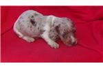 Picture of AKC Chocolate Dapple Piebald Puppy