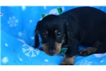 Picture of AKC Black and Tan Wire female  Dachshund Puppy