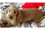Picture of AKC Champion Bloodline Wire Mini Dachshund Puppies
