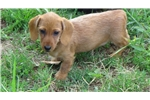 Picture of AKC Ch. Wire Female Mini Dachshund Puppies