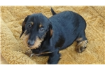 Picture of AKC Mini Black and Tan Wire Female Dachshund Puppy
