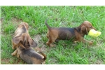 Picture of AKC Male Wire Mini Dachshund Puppies