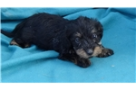 Picture of AKC Wire mini Dachshund puppies