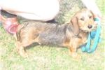 Picture of AKC Red Wire Male Mini Puppy