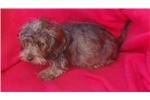 Picture of AKC Wild Boar Wire Dachshund Puppy
