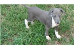 Picture of AKC Blue Male IG Puppy