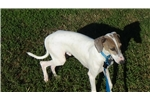 Picture of AKC White and Fawn Male IG Puppy