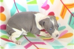 Picture of AKC Blue Female IG Puppy