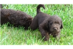 Picture of CKC Chocolate Labradoodles