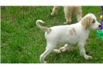Picture of F1b Labradoodle Puppies