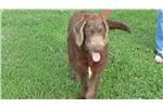 Picture of CKC Chocolate Labradoodle