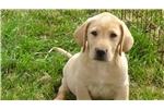 Picture of AKC Yellow Lab Puppies