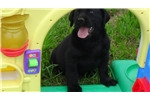 Picture of AKC Lab Puppies